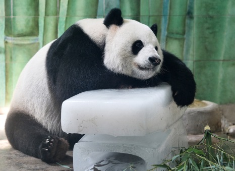 This picture taken on August 4, 2015 shows a giant panda putting itself on a huge ice cube to cool off during the heat wave in a zoo in Wuhan, central China's Hubei province.